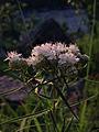 Pycnanthemum tenuifolium - Narrowleaf Mountainmint.jpg
