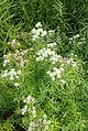 Pycnanthemum tenuifolium kz1.jpg