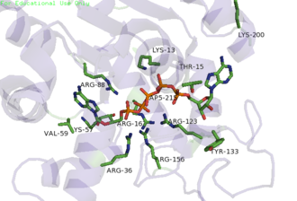 Adenylate kinase - PDB image 3HPQ showing the ADK enzyme skeleton in cartoon and the key residues as sticks and labeled according to their placement in E. Coli, crystallized with Ap5A inhibitor.