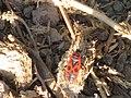 Pyrrhocoris apterus-Sde Yoav.jpg