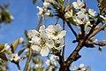 Pyrus pyrifolia (Shinko) inflorescence3.JPG