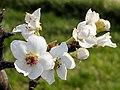Pyrus pyrifolia (Shinko) inflorescence 3.jpg