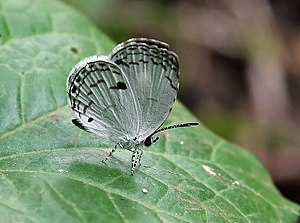 Neopithecops zalmora - Wet-season form Narendrapur, near Kolkata, India