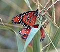 Queen Butterfly (Danaus gilippus) (48675909).jpg