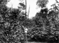Queensland State Archives 4335 Picking coffee at Atherton October 1927.png