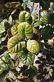 Quercus alnifolia 02.jpg