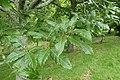 Quercus castaneifolia kz01.jpg