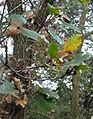 Quercus cerrioides fulles hivern.jpg