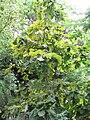 Quercus dentata2.jpg