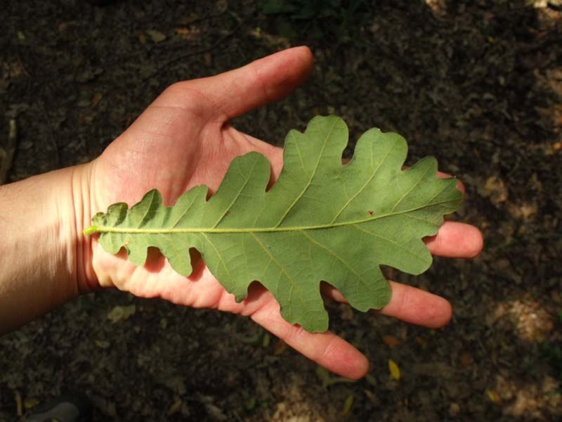 Quercus frainetto Capocotta leaf 2