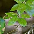 Quercus ilex 04.jpg