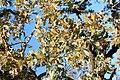 Quercus lobata-10.jpg