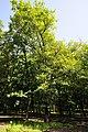Quercus petraea subsp. iberica (3).jpg