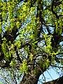 Quercus rob. 02.JPG