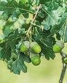 Quercus robur in Aveyron 01.jpg