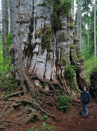 "Thuja plicata - The ""Quinault Lake Redcedar"" was the largest western redcedar in the world."