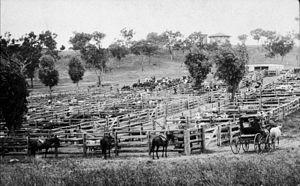 Quirindi - Quirindi saleyards, c.1900