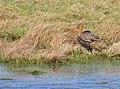 Rödspov Black-tailed Godwit (14059746616).jpg