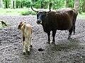 Rückzüchtung Aueroches Kuh mit Kalb.JPG