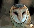 RRANC Barn Owl Instagram.jpg