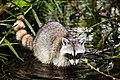 Raccoon (24890278062).jpg