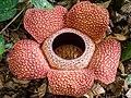 Rafflesia keithii (13891181774).jpg