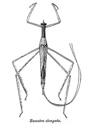 Nepidae - Ranatra elongata