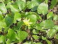 Ranunculus ficaria bulbifer3.jpg