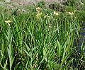 Ranunculus lingua 9790-800.jpg