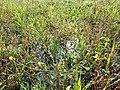 Ranunculus sardous subsp. sardous sl32.jpg