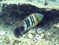 Ras Mohamed Spotted wrasse fish.jpg