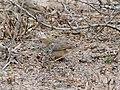 Rattling Cisticola (Cisticola chiniana) at iMfolozi Game Reserve, Hluhluwe-iMfolozi Park, Kwazulu-Natal (31424521364).jpg