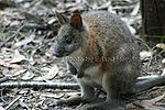 Red-Necked-Pademelon.jpg