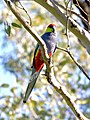 Red-capped Parrot, Blackadder Wetland 2b.jpg