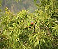 Red-cheeked Parrot. Geoffroyus geoffroyi (48722471286).jpg