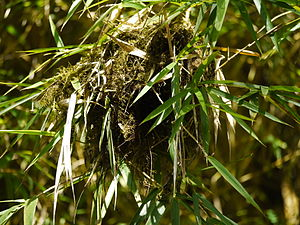 Structures built by animals - The red-faced spinetail places bits of grass and other material loosely streaming around its nest to break the shape and to masquerade as debris.