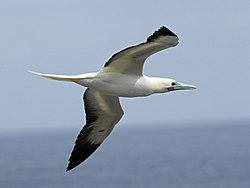 Red-footed Booby RWD2.jpg