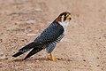 Red-necked falcon (Falco chicquera).jpg