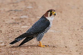 Red-necked falcon (Falco chicquera).jpg