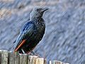 Red-winged Starling (Onychognathus morio) (6042010966).jpg