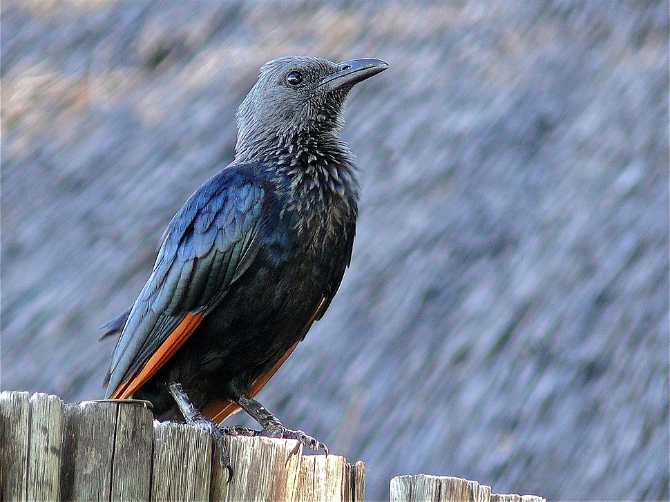Red-winged Starling (Onychognathus morio) (6042010966)