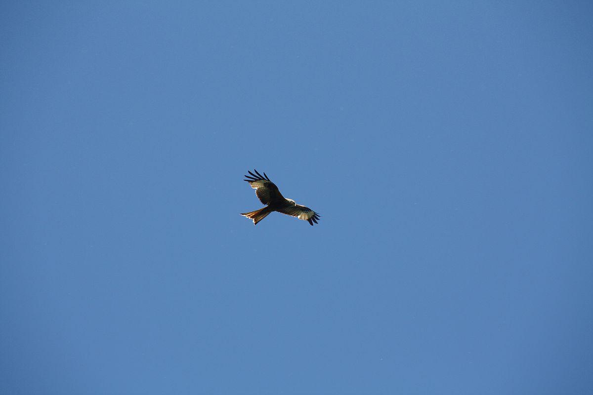 533723b47f0 List of soaring birds - Wikipedia