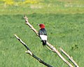 Red Headed Woodpecker5.JPG