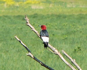 Red-headed woodpecker - The red-headed woodpecker's distinct colors are true to the bird's name.