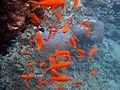 Red sea-reef 3202.jpg