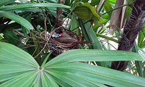 Red-whiskered bulbul - Red-whiskered bulbul on a nest