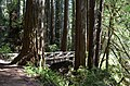 Redwoods in Humboldt - panoramio (6).jpg