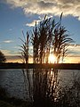Reeds at sunset - geograph.org.uk - 285490.jpg