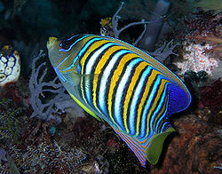 Regal angelfish.jpg