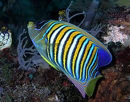Regal angelfish.jpg